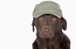 Labrador i grön arméstilbaseballmössa Fotografering för Bildbyråer
