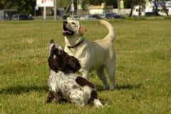 Labrador i spaniel Pies sztuka z each inny Wesoło wrzawa szczeniaki Potomstwa są prześladowanym edukację, kynologia, intensywny s obraz royalty free