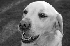 Labrador i trädgården Royaltyfri Bild