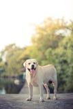 Labrador i trädgården Royaltyfri Foto