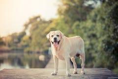 Labrador i trädgården och sjön Arkivbilder
