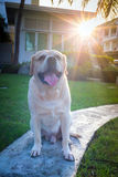 Labrador i trädgården och solen blossar Arkivbild