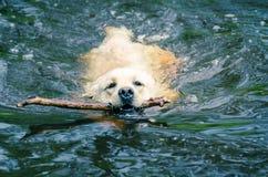 Labrador i vattnet Fotografering för Bildbyråer