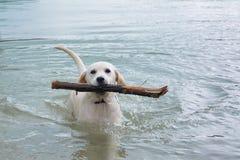 Labrador i wasser Royaltyfri Bild