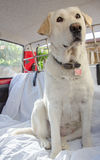 Labrador im Auto lizenzfreie stockbilder