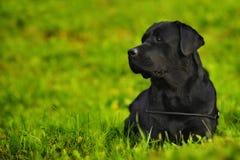 Labrador im Gras Lizenzfreies Stockfoto