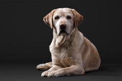 Labrador im Studio Lizenzfreie Stockfotografie