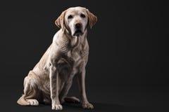 Labrador im Studio Stockfoto