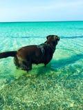 Labrador im Wasser! lizenzfreie stockbilder