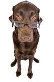 Labrador intelligent avec des glaces Image libre de droits