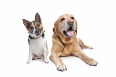 Labrador and jack russel terrier Royalty Free Stock Photo