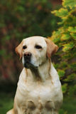 Labrador jaune Photos stock