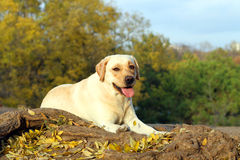 Labrador jaune agréable en parc en automne Photographie stock