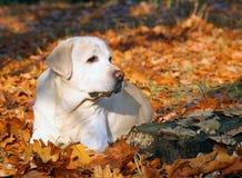 Labrador jaune en parc en automne Photographie stock libre de droits