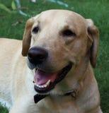 Labrador jaune prend le repos dans le jardin images libres de droits
