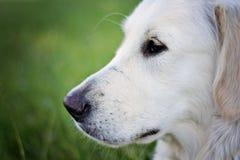 Labrador joven Imágenes de archivo libres de regalías