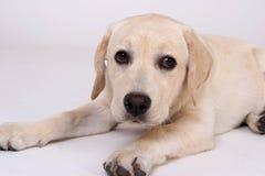 Labrador joven Fotos de archivo