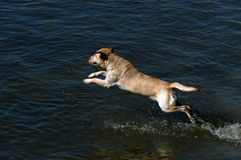 Labrador jumping into water. Happy dog Labrador retriever jumping into the water royalty free stock photography
