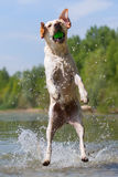 Labrador jumps in a lake Royalty Free Stock Images