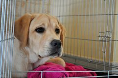 Labrador in kennel Royalty Free Stock Image
