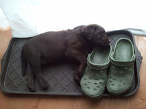 Labrador A La Carte. Chocolate Labrador retreiver puppy sleeping in a plastic shoe tray with his head on a shoe. White copy space above the dog from the nicely Royalty Free Stock Photos