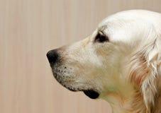 Labrador labradorståendeslut upp, endast head skörd, labrador i bruntkrämbakgrund som ser rak Royaltyfria Bilder
