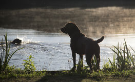 Labrador at the lake Stock Photography