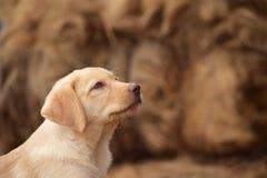 Labrador. Landscape of a young male Labrador stock photography