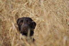 Labrador in Lang Gras stock fotografie