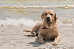 Labrador Laying At The Beach Royalty Free Stock Photography