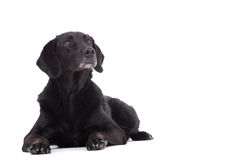 Labrador is laying down. Happy dog photographed in the studio on a white background stock photos