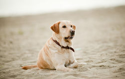 Labrador laying on sand Stock Photo