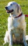 Labrador Le den labrador hunden Labrador utomhus Fotografering för Bildbyråer
