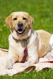 Labrador Le den labrador hunden Labrador utomhus Arkivbild