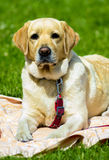 Labrador Le den labrador hunden Labrador utomhus Royaltyfria Bilder