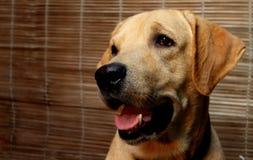 Labrador le plus mignon Images libres de droits