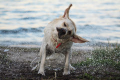 Labrador after leaving the water Royalty Free Stock Photo