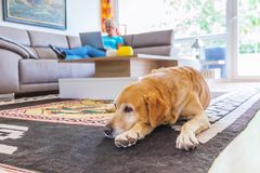 Labrador lies on the floor while a mature woman works with a laptop in the background Royalty Free Stock Photo
