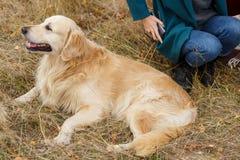 Labrador ligger på det torkade gräset i parkera royaltyfri foto