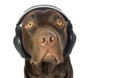 Labrador lindo con los auriculares perdidos en música Foto de archivo
