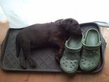 Labrador à lista Fotos de Stock Royalty Free