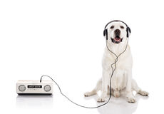 Labrador listen music. Labrador retriever listen music with headphones Royalty Free Stock Photo