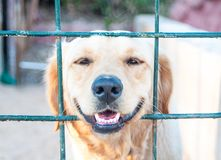 Labrador looked through the barricade. Close up of Labrador dog lying looking out of the barrier fence, poorly barricaded royalty free stock photography