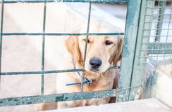 Labrador looked through the barricade. Close up of Labrador dog lying looking out of the barrier fence, poorly. Labrador looked through the barricade. Close up royalty free stock image