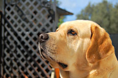 Labrador looking in garden Royalty Free Stock Photography