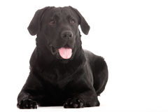 Labrador is looking. Happy dog photographed in the studio on a white background stock image