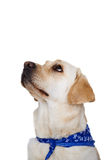 Labrador looking up with beseeching eyes Royalty Free Stock Image