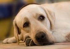 Labrador lying down. A yellow Labrador retriever laying on the floor Stock Photo