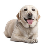 Labrador lying down and panting Stock Photography