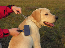 Labrador maintenance. Combing Stock Images